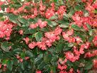 Cómo cultivar flores invernales: begonias y pensamientos