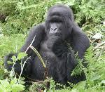 Gorilas en la selva: tour virtual