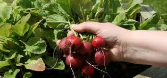 Cómo cultivar hortalizas en macetas