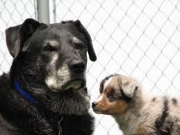 Convivencia entre un perro anciano y un cachorro