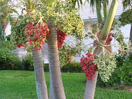 Cómo cultivar palmas de Navidad