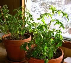 Cómo cultivar verduras en el interior de tu casa