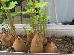 Como cultivar patatas en un balcón