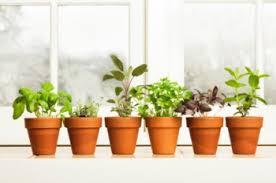 Ensalada cultivada en casa