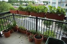 Como sembrar maíz en un balcón