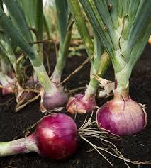 Cultivo de cebolla en casa