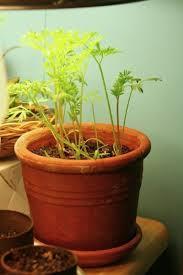 ¿Cómo cultivar zanahoria sin semilla?