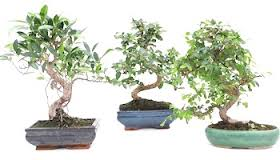 De árbol a bonsai