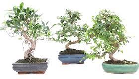 De árbol a bonsai