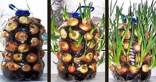 ¿Cómo plantar cebollas con una botella?