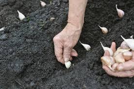 La mejor forma de plantar ajo