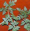 Historia y curiosidades acerca de las plantas: la cicuta