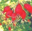 Rosa mosqueta: un rejuvenecedor eficaz y sin contraindicaciones