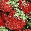 Mousse de frutillas