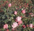 Ideas para decorar un jardín con rosas